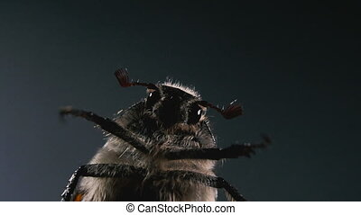 Chafer. Macro photography of the May beetle. Portrait of a...