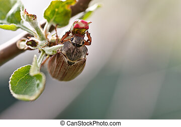 chafer sitting on a flower apple