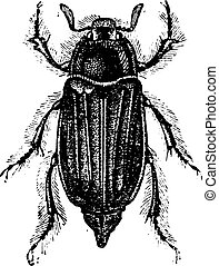Chafer, vintage engraving.