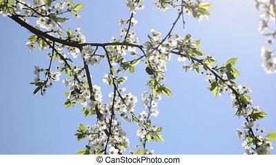 chafer walk bloom tree