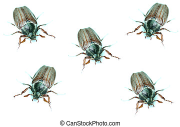 chafers closeup isolated on a white background