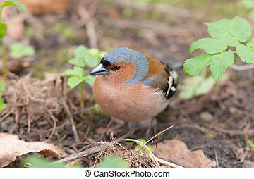 chaffinch close up