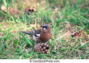 Chaffinch - Common chaffinch