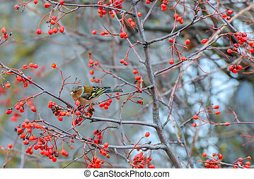 Chaffinch eats the berries