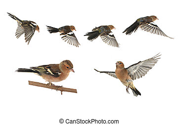chaffinch flight on a white background