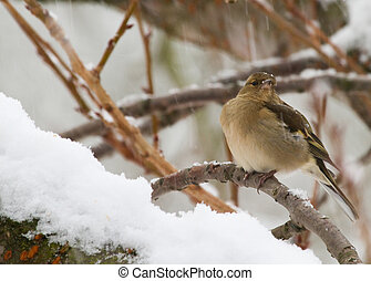 Chaffinch (Fringilla coelebs) perched in a tree in the snow