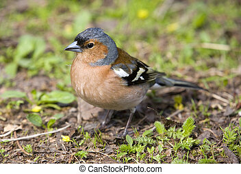 Chaffinch in a grass close up