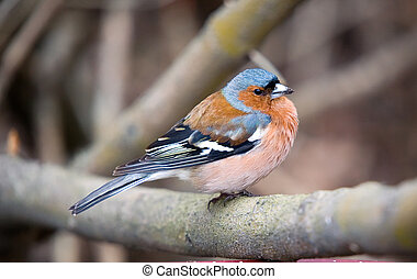 Chaffinch on a branch of a tree close up