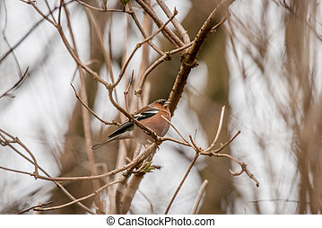Chaffinch on a twig in the winter