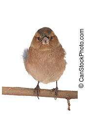 chaffinch on a white background