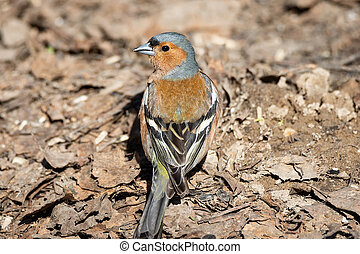 Chaffinch on the ground spring