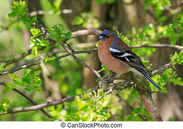 Chaffinch perched in a tree close-up