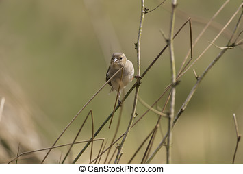 Chaffinch perched on a twig in a forest