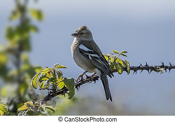 Chaffinch Perched on Bramble - Female chaffinch perched on a...