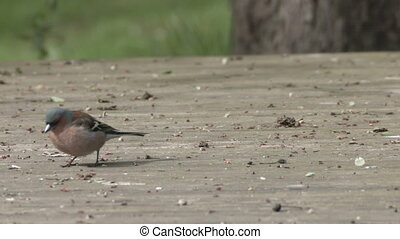 chaffinch searching for food