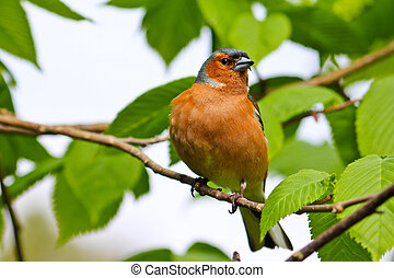 Chaffinch sitting in a tree