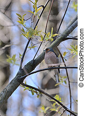 Chaffinch sitting on a tree in the spring forest
