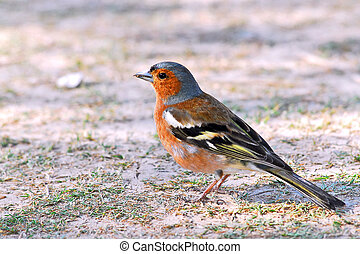 chaffinch, suolo