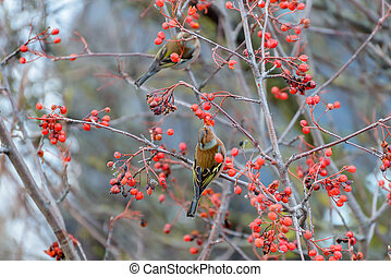 Chaffinches eats the berries