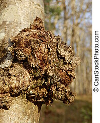 Chaga Mushroom - Close up of the fungus Inonotus obliquus,...