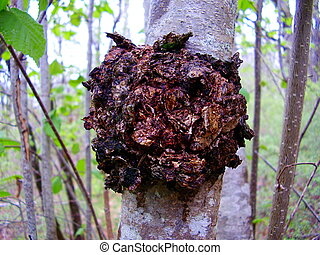 Chaga Mushroom - Close up of the mushroom Inonotus obliquus...