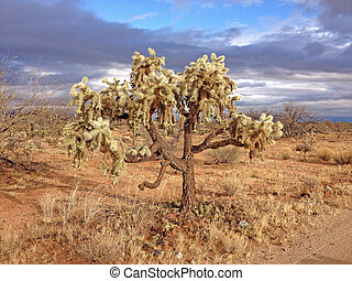 Chain-Fruit Cholla Cactus (Cylindropuntia fulgida) Green Valley, Arizona