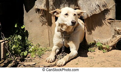 Chained watch dog laying next to kennel at the countryside...