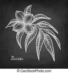 Chalk sketch of pecan branch on blackboard background. Hand...