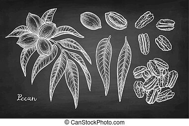 Chalk sketch of pecan - Pecan set. Chalk sketch of nuts on...