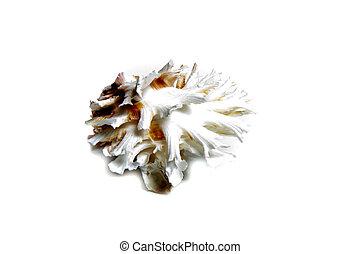 chama lazarus - Marine sea shell in a studio setting against...