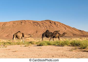 chameau, trois, camelus, maroc, arabe, dromedarius