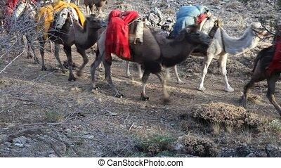 chameaux, chaud, migrer, plateaux