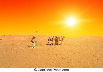 chameaux, coucher soleil