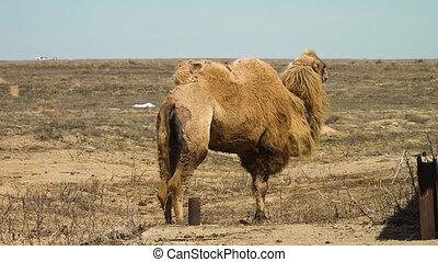 chameaux, désert