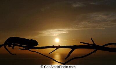 chameleon at sunset