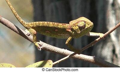 chameleon balancing on a branch