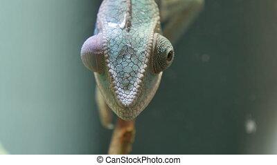 Chameleon Camouflage Reptile Branch - Chameleons or...