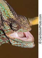 Chameleon Chamaeleo Calyptratus - Yemen chameleon - Veiled Chameleon
