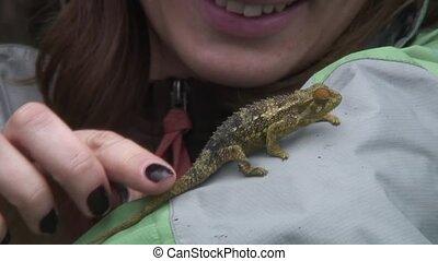 Chameleon (Chamaeleonidae) reptile - Botswana wild Africa...