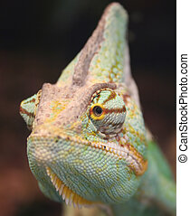 chameleon close up photo - vivid colored