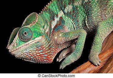 Chameleon close-up