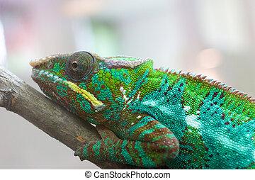 Chameleon closeup 1