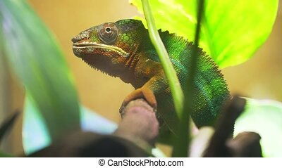 Chameleon Furcifer pardalis Ambolobe - Chameleon sitting on...