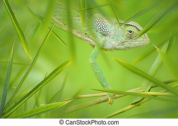 Chameleon in a Green Bamboo Thicket - Green African...