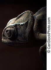 Chameleon in search for a prey in the nature.