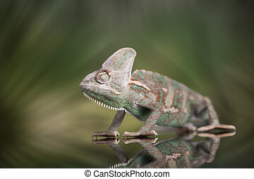 Chameleon lizard isolated on green background