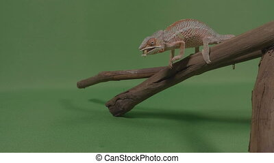 Chameleon lizard standing on a branch shooting out his...