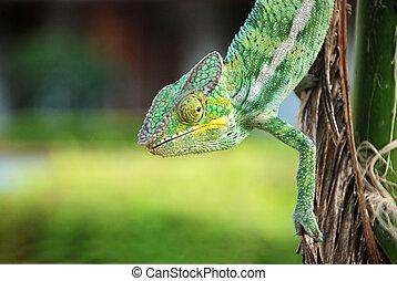 chameleon of madascar