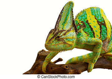 chameleon on a branch on a white background