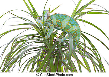 Chameleon on a palm tree